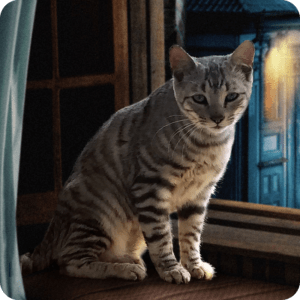 Toyger-Window-800×800