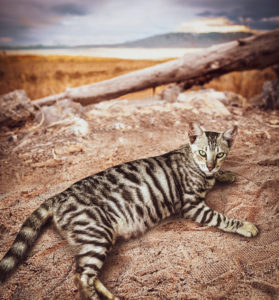 silver-toyger